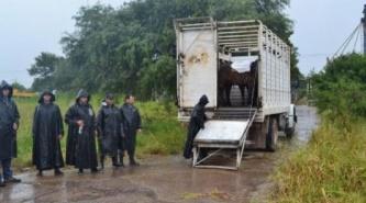 Chaco: le robaron sus vacas por debajo del alambre, pero se las recuperaron